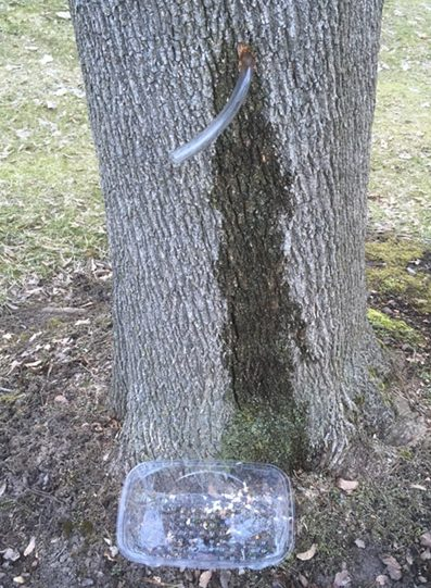 tapping maple tree tubing